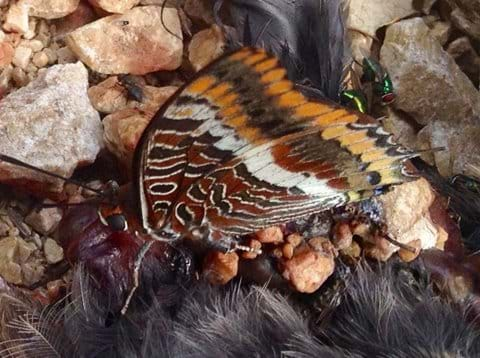 Two tailed pasha sucking up juices from a dead crow