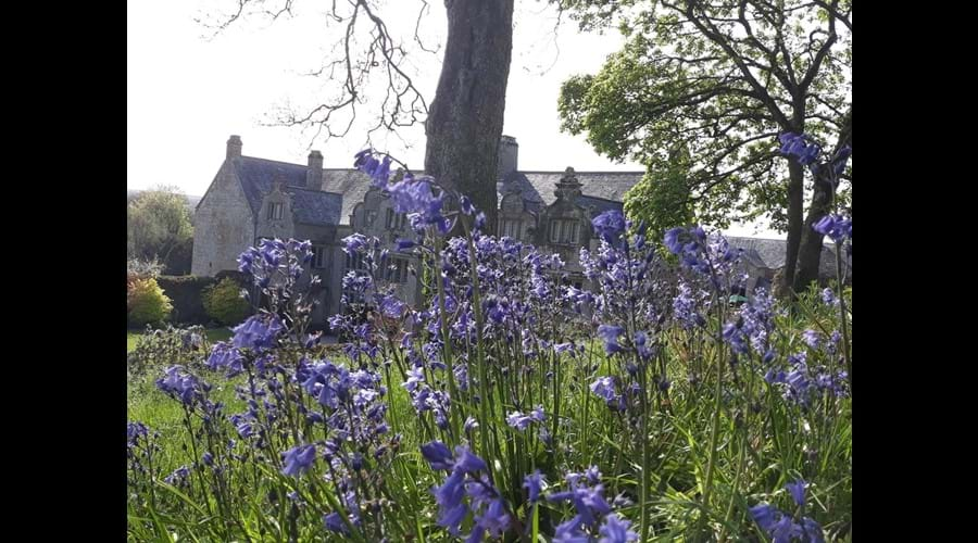 Bluebells at Trerice House