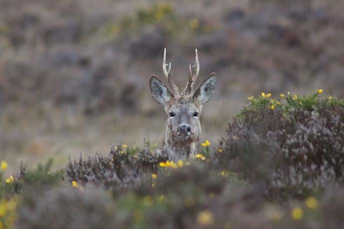 Hiding in the gorse close to the holiday cottage, Lymington