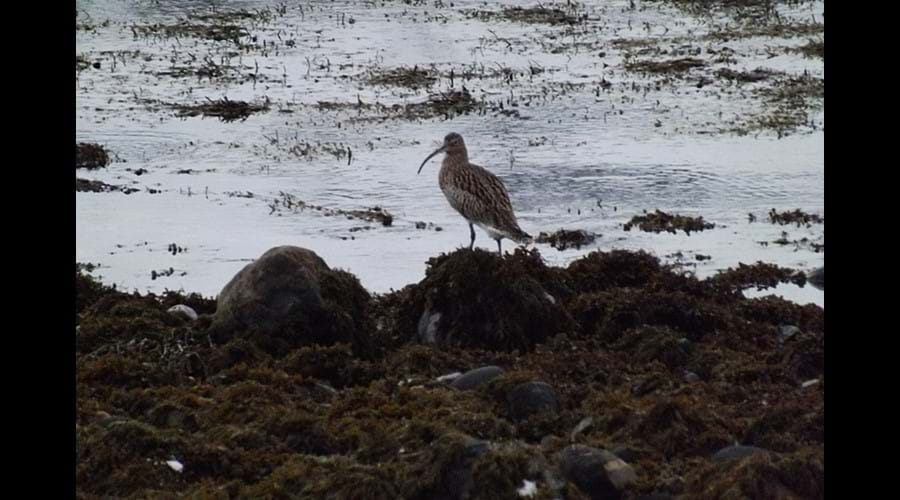 Curlew Spotted on Afternoon Walk by Loch Slapin