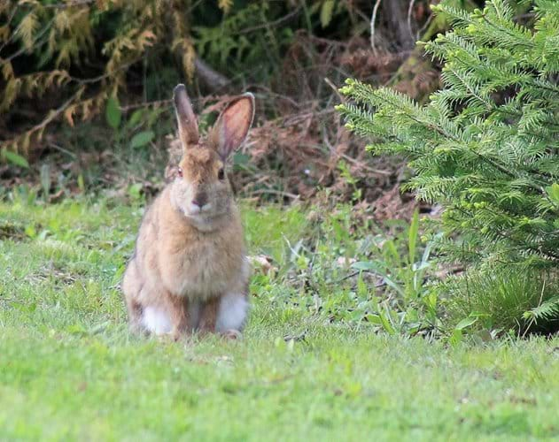 One of the many Varying Hares that hang around the property eating the grass at the back of the cottage.