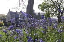 Bluebells at Trerice House