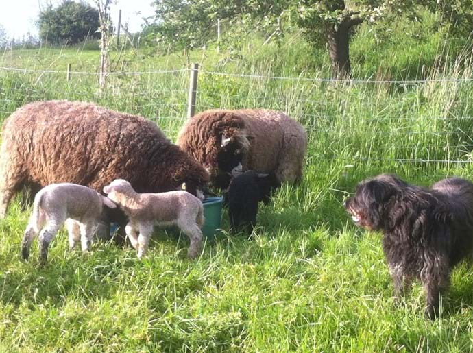 Rolo checking out the new lambs