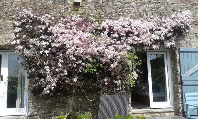 Beautiful Spring Time Clematis