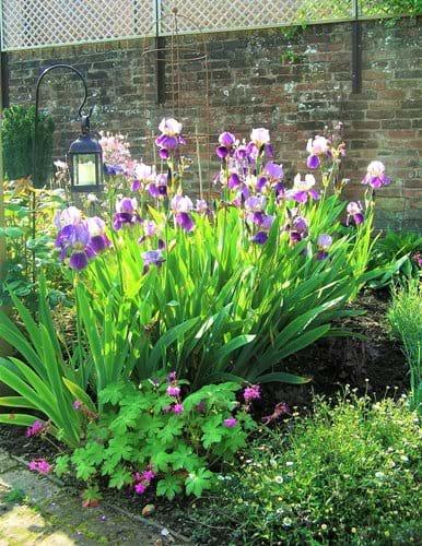 Irises in May