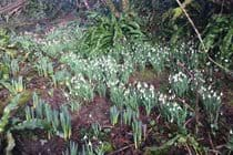 The snowdrops are out in the woods at Tiptoe during February