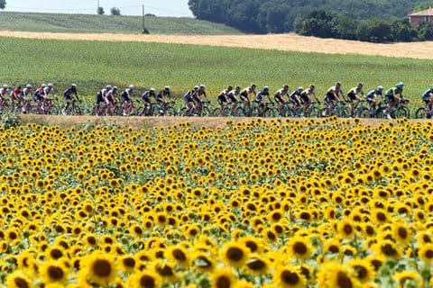 Cycling through fields of sunflowers