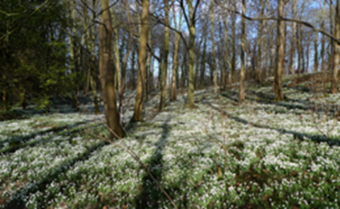 Snowdrops at Walsingham Abbey