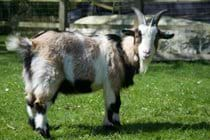 Albert - one of our goats