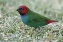 Parrot Finches have to be the cutest bird ever & love hopping around on the grassed areas.