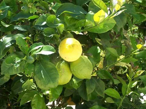 Lemons on tap!