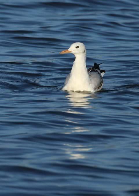 Slender-billed gull - Parque Natural of Albufera
