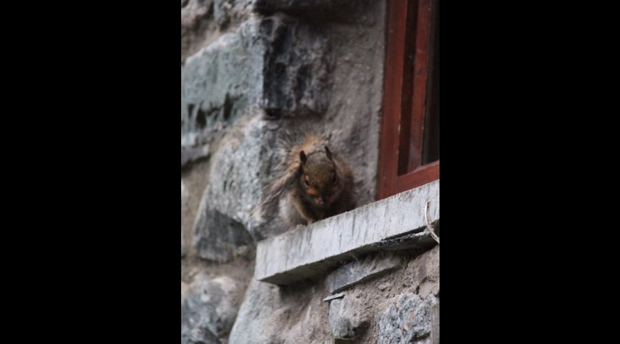 Cheeky Squirrel sheltering from rain