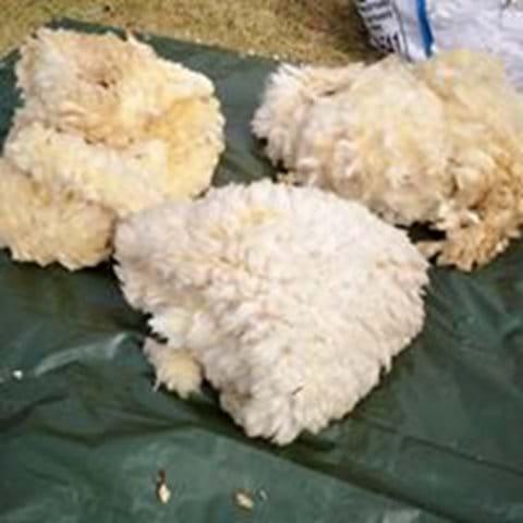 Freshly shorn fleeces