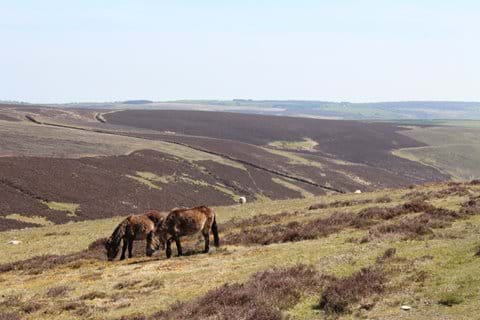 Exmoor Ponies, Brendon Common