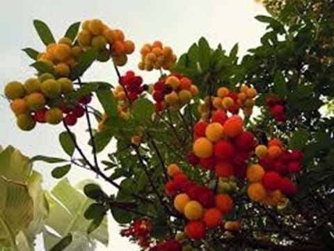 Arbutus berries with which to make Medronho