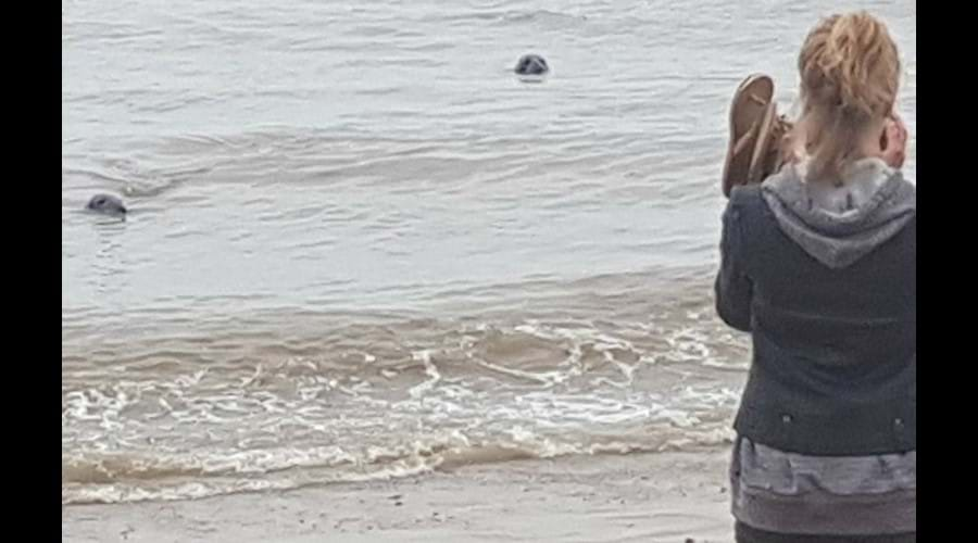 Seal spotting on Horsey Beach