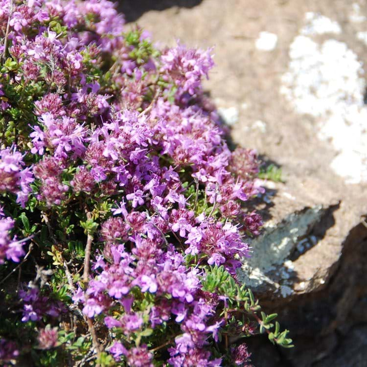 wild flowers cling to rocks on the Law