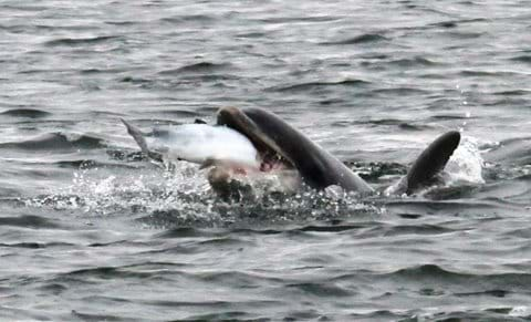 dolphin swallowing salmon