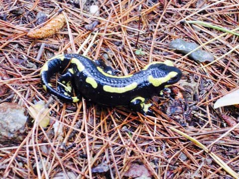 Fire salamander after a storm