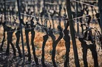 Local vine yards