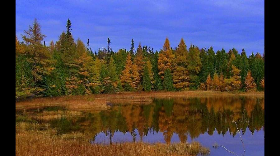 In the fall, the colours of the coniferous trees change from green to gold.
