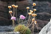 Wild flowers, Little Bernera