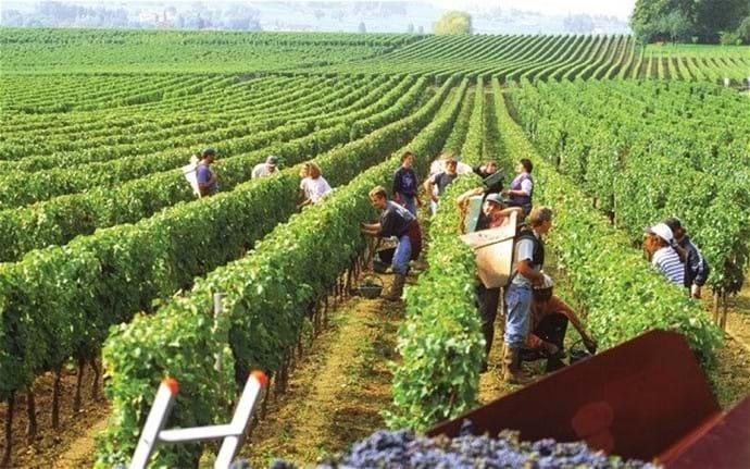 The local grape harvest.