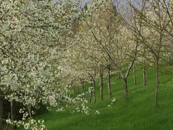 Cherries in spring