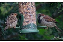 House Sparrows. We also have Tree Sparrows..
