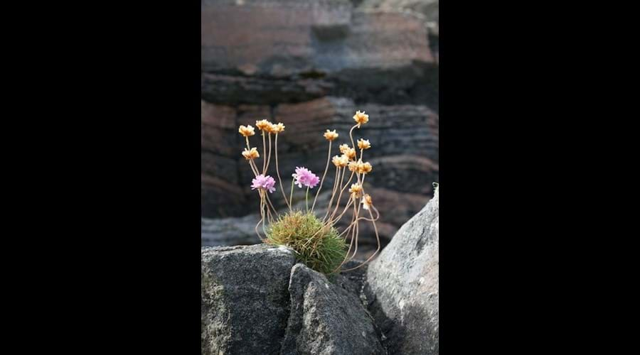 Wild flowers, Little Bernera