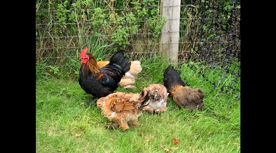 Rare breed bantams