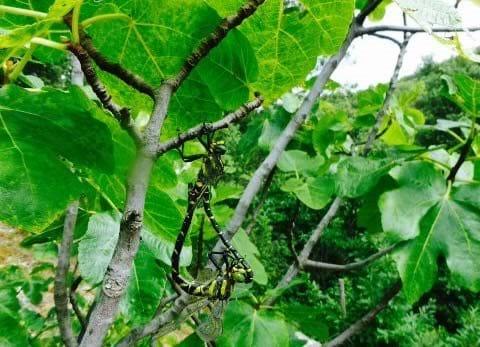Dragonflies mating heart