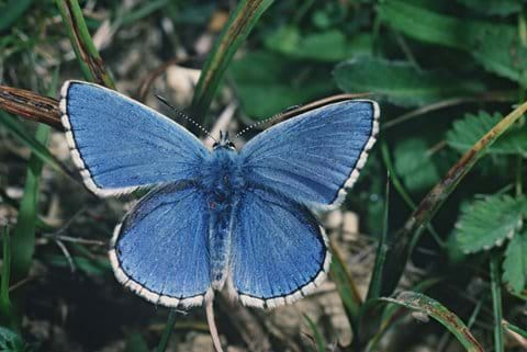 Chalkhill Blue - North Wessex AONB