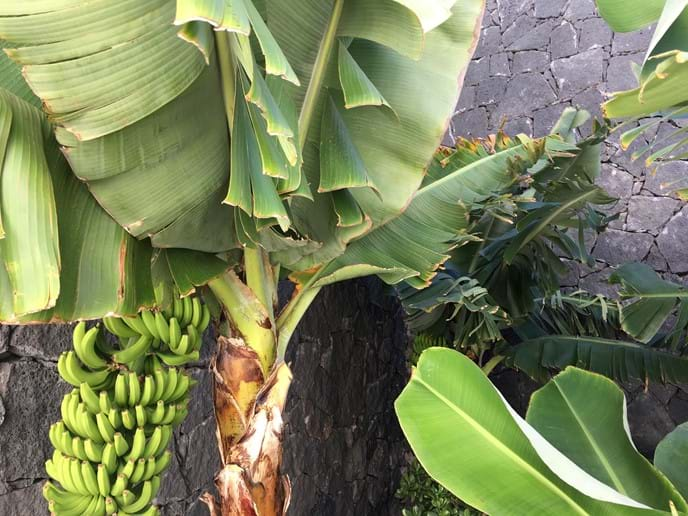 Banana Tree near Café Terraza Marina Rubicon Playa Blanca