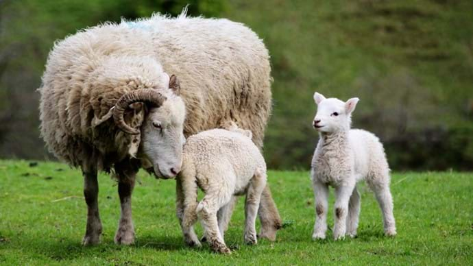 If you stay in March to May you may see the lambs!