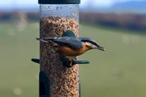 Nuthatch from the sitting room window