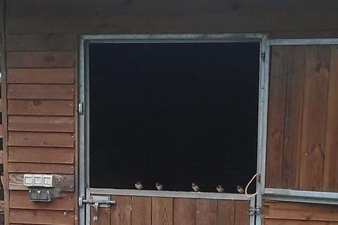 Five fledging Swallows lined up about to fly the nest