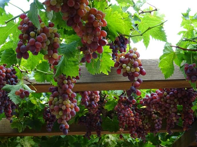 Sept 2017 - The grapes have done well this year and we have a bumper harvest. Now the long and careful wine-making process begins.