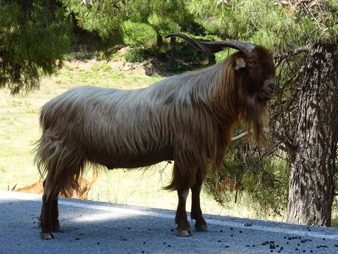 July 2017 - Crossing the island through the forest over the mountain road which runs between Neo Klima/Elios and Skopelos Town we met this handsome beast on the road just by the goat station there.