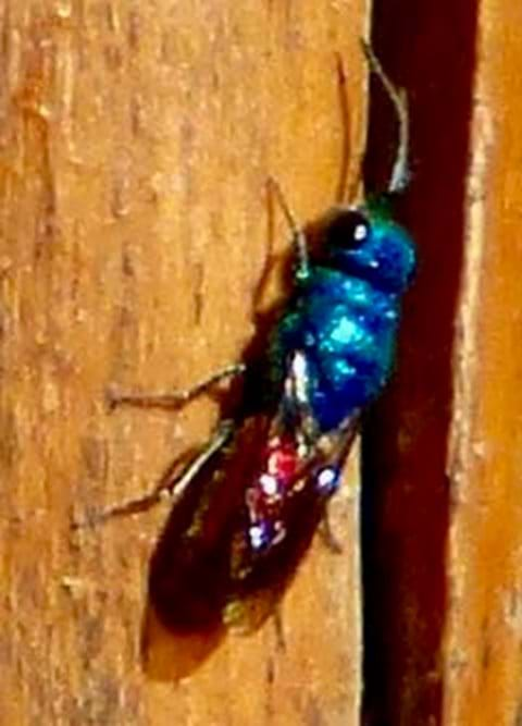 Ruby tailed wasp (too quick to get a good photo!)