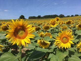 Sunflowers overlooking Le Grand Bois