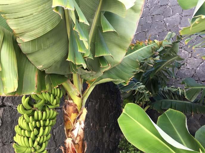Banana Tree near Café Terraza Marina Rubicon Playa Blanca