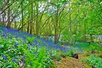 Ancient Woodland Bluebells