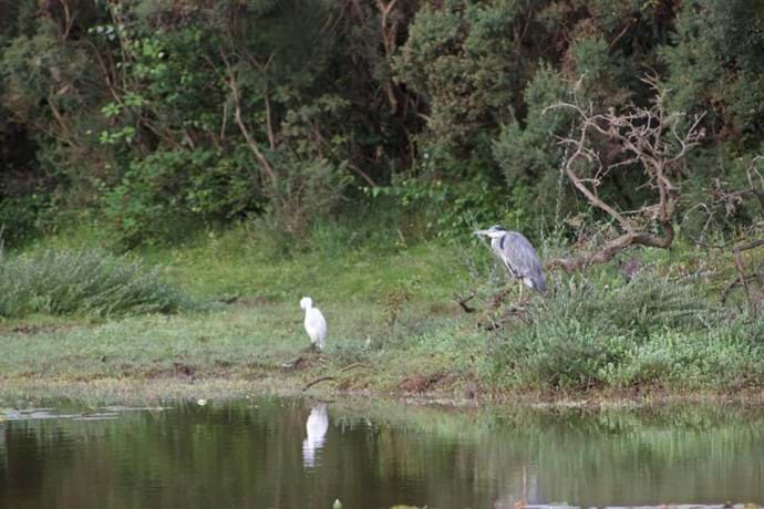 Resident Heron at Setley Pond - a short walk from holiday cottage