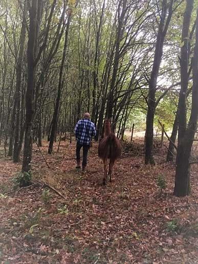 Llama Trekking on our 17 acre farm