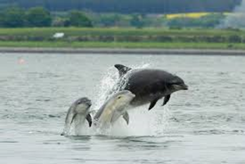 The Dolphins at Chanonry point