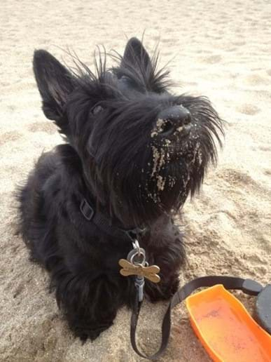 Sandy Nose Scottie