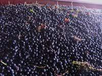 Grape Harvest @ Chateau La Grande Etouble