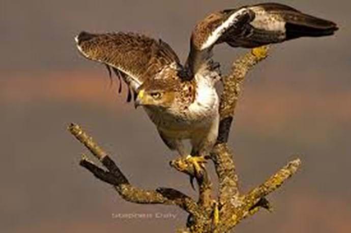 Bonelis Eagle